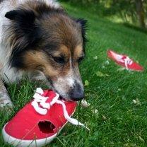 Pies Collie