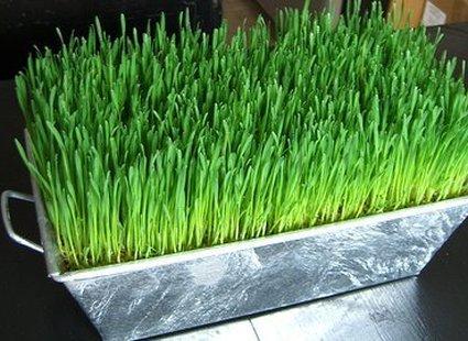 Zielona trawka Wielkanocna