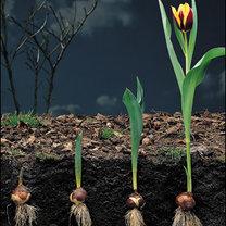 Wyrost tulipana