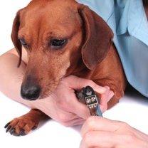 obcinanie psu paznokci