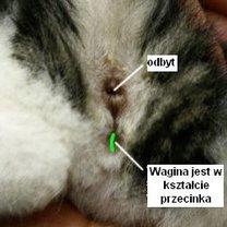 Jak rozpoznać kotkę?
