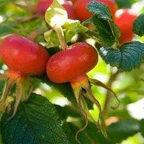Dekoracyjne owoce róż