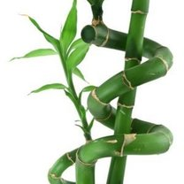 pielęgnacja bambusów