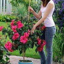 hodowla hibiskusa
