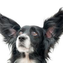 uszy psa