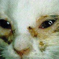 koci katar (kocia grypa)