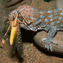 karmienie gekona