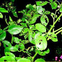 liście zjedzone przez szkodniki