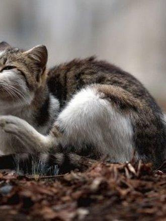 pchły u kota