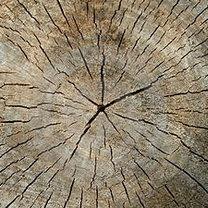 wiek drzewa