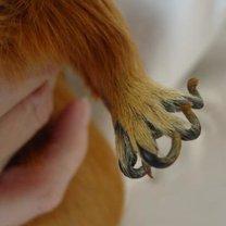 paznokcie świnki morskiej