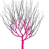 przycinanie drzewa czteroletniego