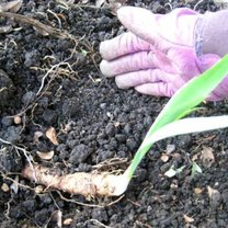 sadzenie irysów - krok 6.