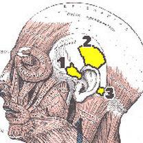 Mięśnie odpowiedzialne za ruszanie uszami