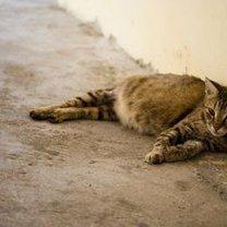 Kot w ciąży