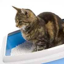 kot korzystający z kuwety