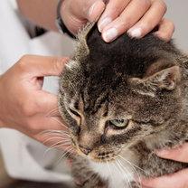 Weterynarz sprawdza kotu uszy