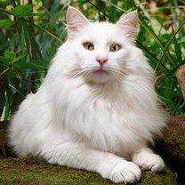 Kot norweski leśny biały