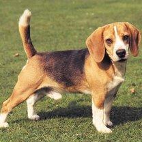 beagle sierść pielęgnacja