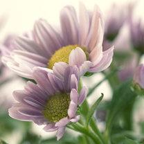 chryzantema w kolorze pastelowego fioletu