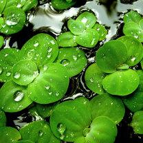 Zielone liście lilii
