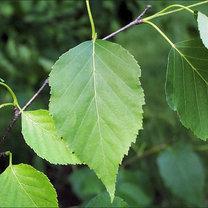 liść brzozy