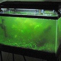 Glony w akwarium