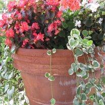 Begonia w ogrodzie