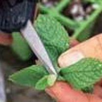 Ucinanie czubka mięty