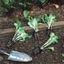 Sadzenie sałaty