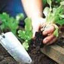 Sadzenie sałaty 2