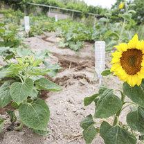 słoneczniki w ogrodzie