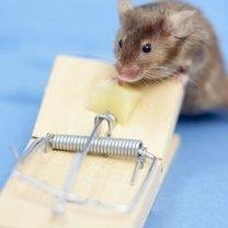 pułapka na myszy