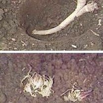 Powyżej: korzenie chrzanu gotowe do przysypania kompostem; Poniżej: Korzenie chrzanu po zasadzeniu