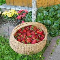 Zebrane truskawki
