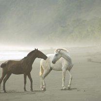 Konie na plaży podczas mgły