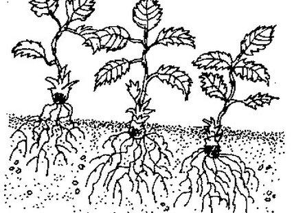Korzenie truskawek