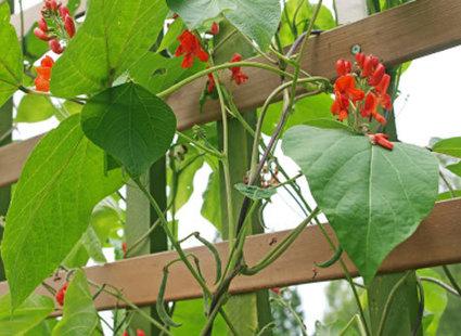 Kwitnąca fasola