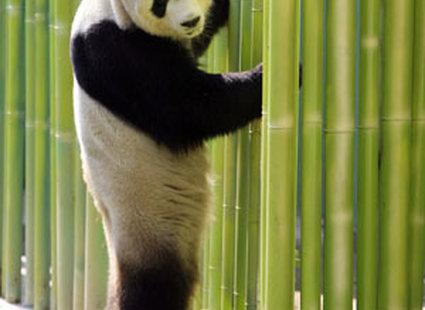 Stojąca prosto panda