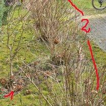 Hortensje bukietowa i ogrodowa