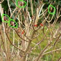 W zielonych kółkach pąki kwiatowe, czerwone kreski - miejsca przycięcia