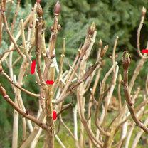 Przycinanie hortensji ogrodowej