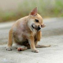 pies z pchłami