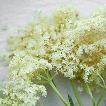 kwiaty białego bzu