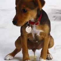 pies sikający na dywan