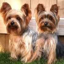 Yorkie pies