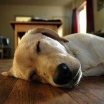 Pies leży na podłodze