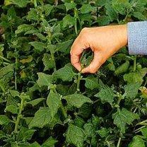 Szpinak nowozelandzki uprawa