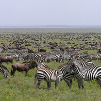 Serengeti w Tanzanii