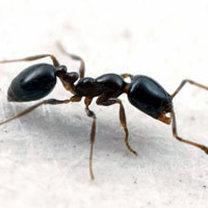 8 Sposobów Na Pozbycie Się Mrówek Porada Tipypl